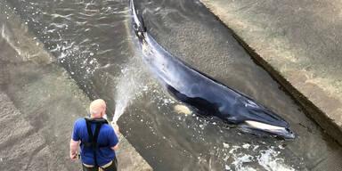 Verirrter Wal an der Themse in London eingeschläfert
