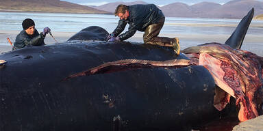 Toter Wal hatte 100 Kilo Müll im Magen