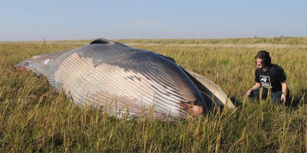 Toter Wal mitten am Land entdeckt