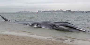 18 Meter langer Wal strandet in New York