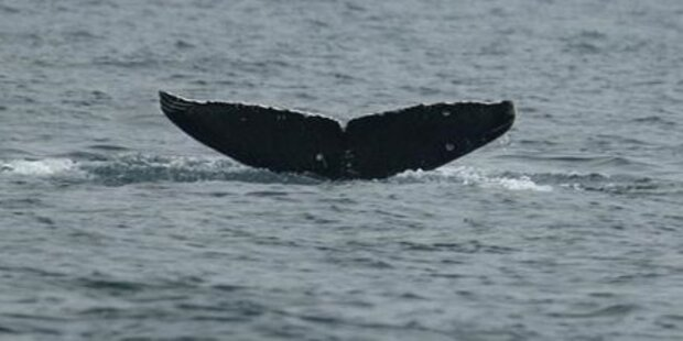 Wale vor Japans Küste radioaktiv belastet