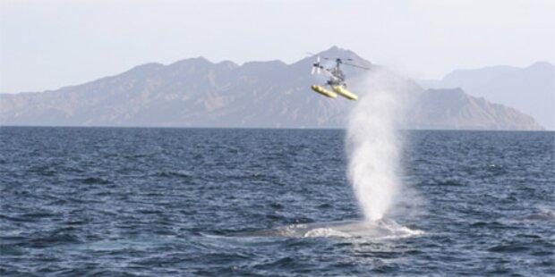 Wal versenkt Segeljacht vor Australien
