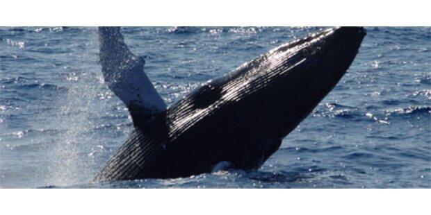 Chile schützt seine Wale