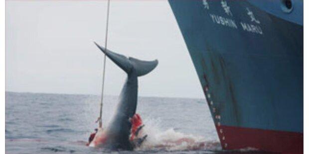 Japan macht Jagd auf Buckelwale
