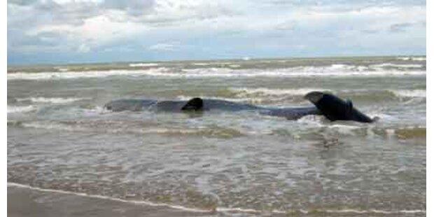 Sieben tote Wale in Süditalien gefunden