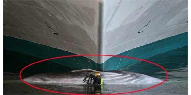 Kreuzfahrtschiff spießte Wal auf
