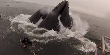 USA: Taucher beinahe von Wal verschluckt