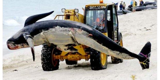 Wieder rund 100 Wale verendet