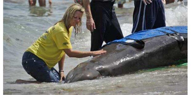 Wale vor Florida gestrandet