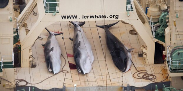 Japan will Wale in der Antarktis jagen