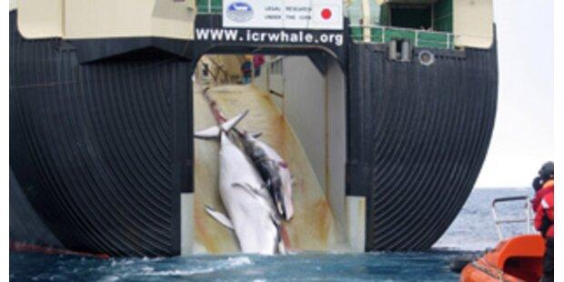 Schockierende Walfang-Bilder veröffentlicht