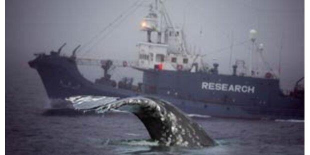 Walfanggegner brechen Aktionen gegen Flotte ab