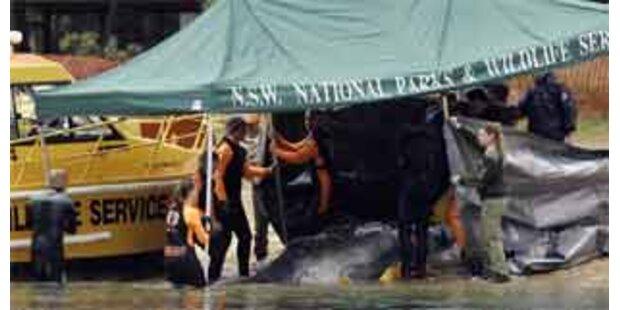 Verirrtes Wal-Baby wurde eingeschläfert