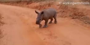 Baby-Nashorn Warren
