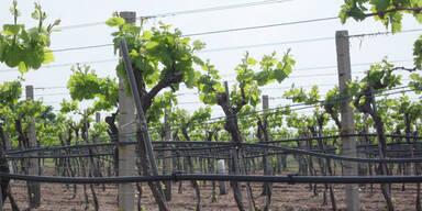 Wiener Wein ist nicht in Gefahr
