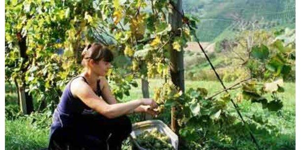 Enorme Hagelschäden trüben Weinernte