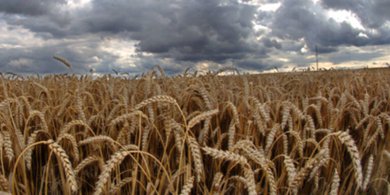 Weizenpreis weltweit am steigen