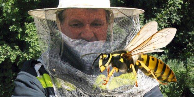 Jetzt kommt Wespen-Plage