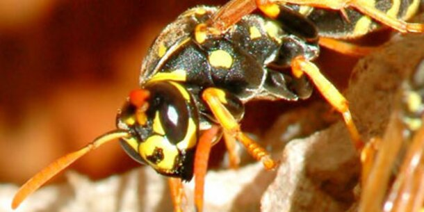 Achtung: Hochsaison für Wespen