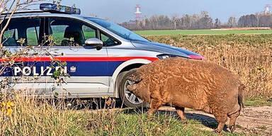 Polizisten gingen in NÖ auf Schweine-Jagd