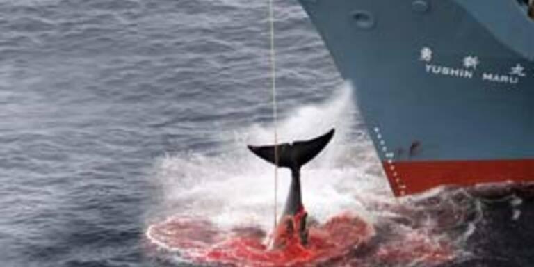 Japan beendet endlich Jagd auf Buckelwale
