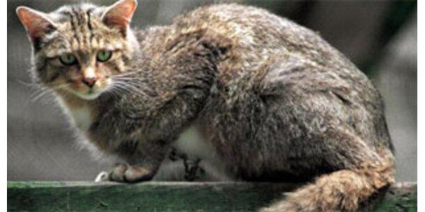Wildkatze im Thayatal nachgewiesen