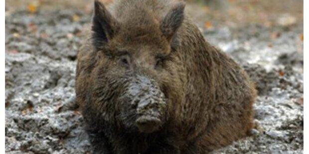 Wildschwein erlegt Jäger in Norditalien