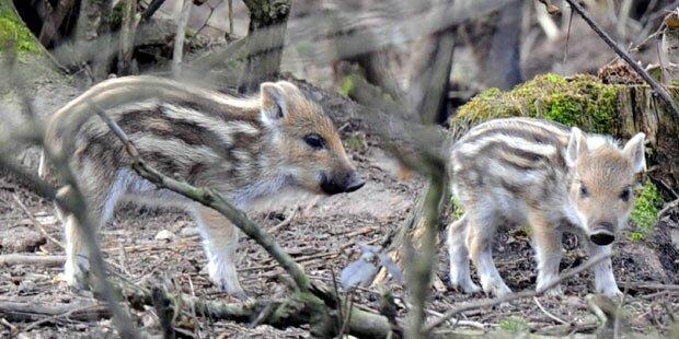 Jugendlicher (13) quält Wildschwein zu Tode