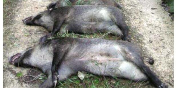 12 Wildschweine stürzten 70m in den Tod