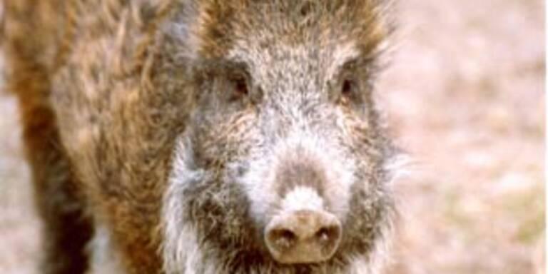 Wildschwein verursacht Horror-Unfall