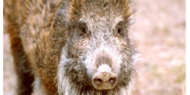 Wildschwein griff französische Fleischhauerei an