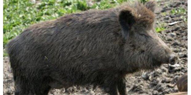 Wildschwein verirrte sich in Wohnzimmer