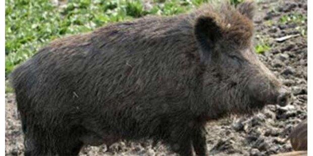 Wildschweine verwüsten Hamburger U-Bahn