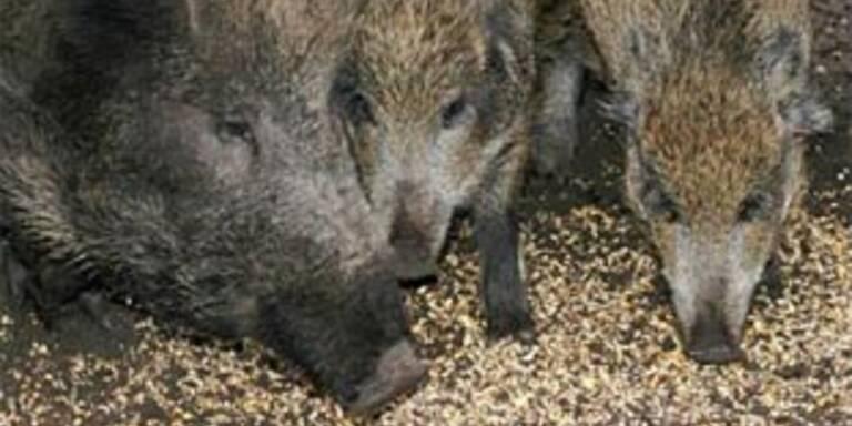 Auf Wildschwein gezielt - Frau getroffen