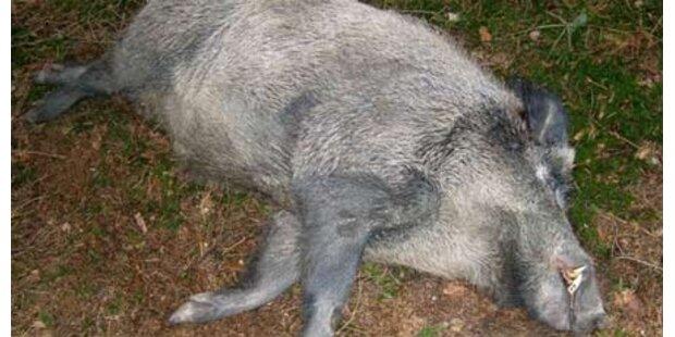 Wildschwein attackierte Zwölfjährige