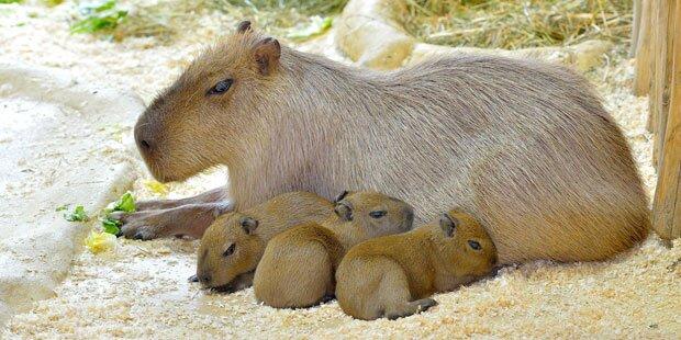 Wasserschweine freuen sich über Nachwuchs