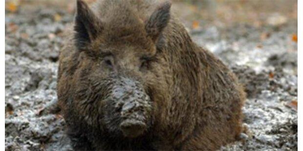 Texas macht Jagd auf Wildschweine aus der Luft