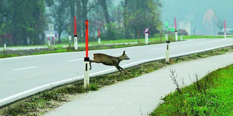 Jetzt herrscht hohes Risiko für Wildunfälle