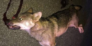 Wolf bei Unfall auf der A12 getötet