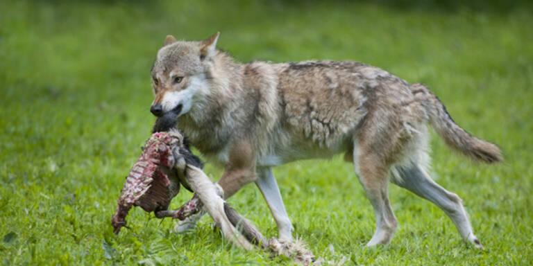 Kroatischer Wolf tötet Weidetiere im Pinzgau