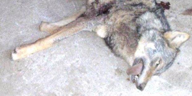 Wolf in Kärnten von Landwirt erlegt