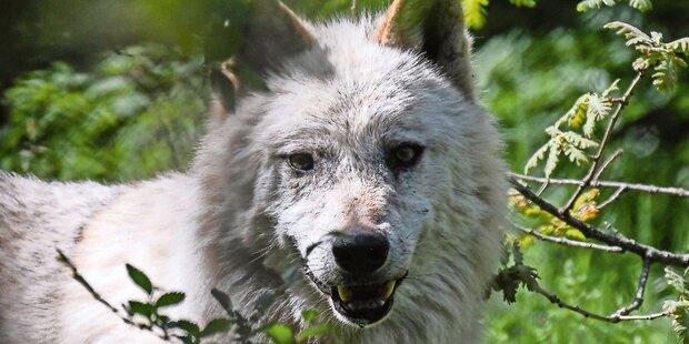 Brutaler Wolfsmord sorgt für Aufregung