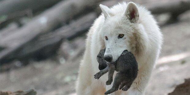 Wolf soll drei Tiere gerissen haben