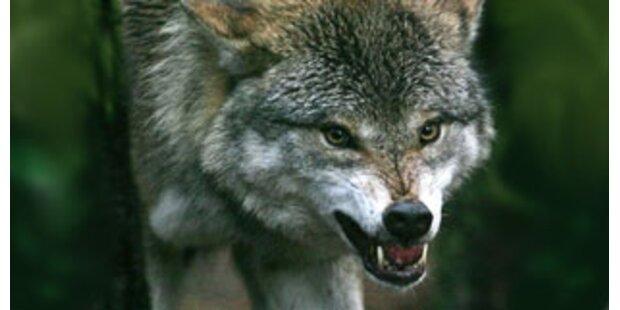 Bissiger Wolf verletzte in Kasachstan 15 Menschen