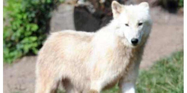 Freilaufender Wolf streunt durch Tirol