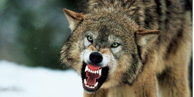 Ein einziger Wolf tötete 18Tiere im Wienerwald