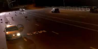 Video: Wolfsrudel jagt Polizisten