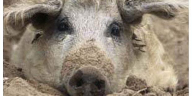 Wollschwein auf der Tauernautobahn entlaufen