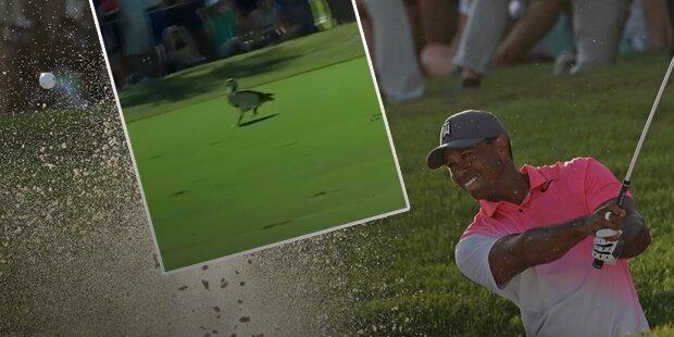 Golf-Star Tiger Woods schießt Gans ab