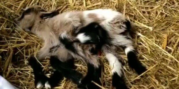Ziege mit acht Beinen geboren